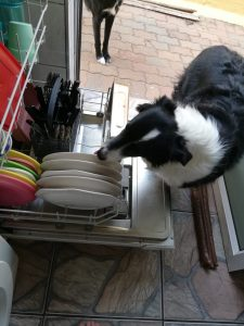 Scrappy licking plate in dishwasher